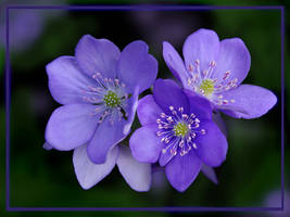 Anemone hepatica by Inianna