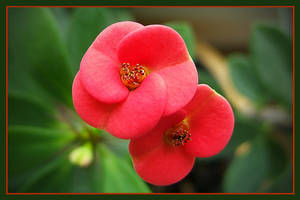 Euphorbia milii by Inianna