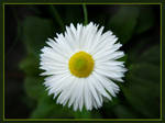 Bellis by Inianna