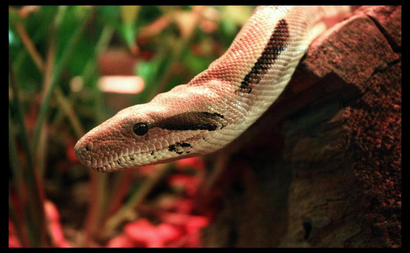 Snake by Flowertree-elf