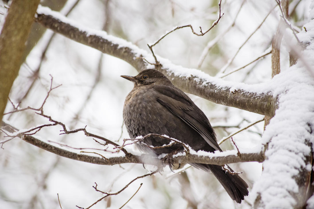 Blackbird enjoying Winter by MundM1