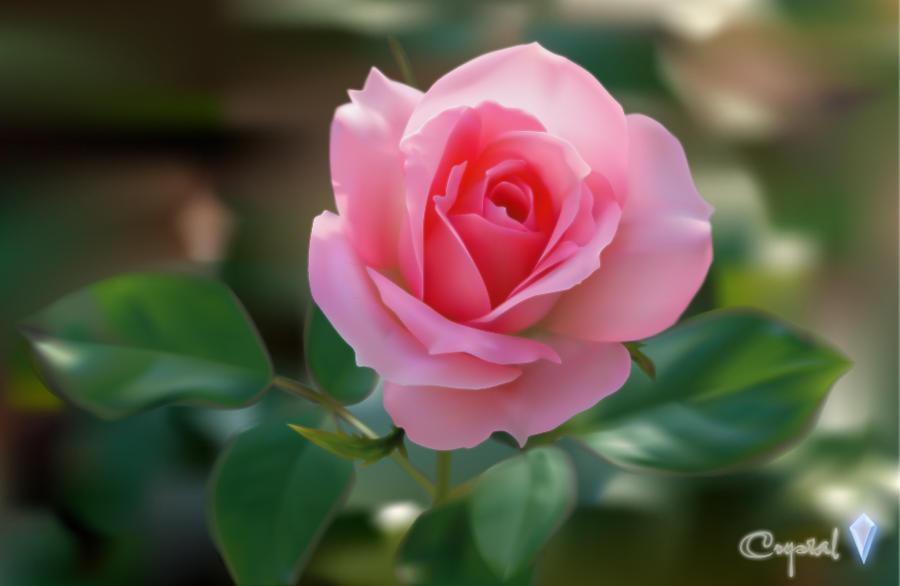 Rose by crystalrain2702