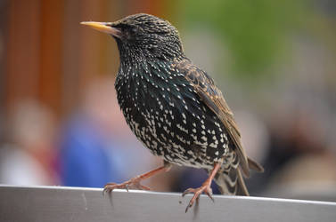 female starling by deianira-fraser
