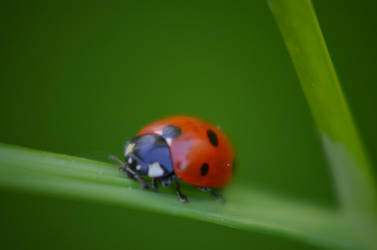 another ladybug by deianira-fraser