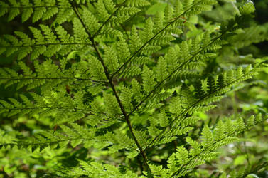 fern with spores underneath by deianira-fraser