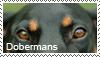 Doberman stamp by Tollerka