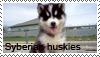 Syberian husky stamp