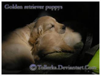 :2007: Golder retriever by Tollerka