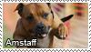 American staff. terrier stamp by Tollerka