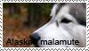 Alaskan malamute stamp by Tollerka