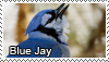 Blue Jay stamp by Tollerka
