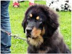 :2009: Tibetian mastiff