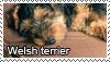 Welsh terrier stamp by Tollerka