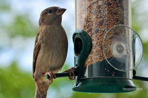 Female Sparrow Feeding Time