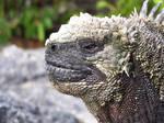 Galapagos Marine Iguana by ITacosharkI