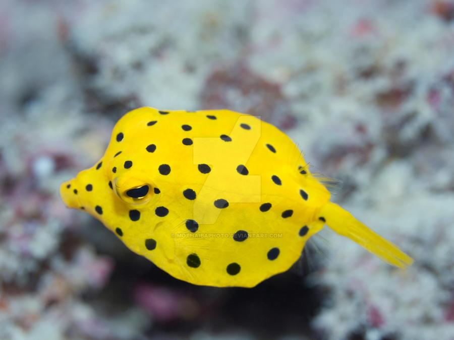 Black-spotted boxfish by MotHaiBaPhoto