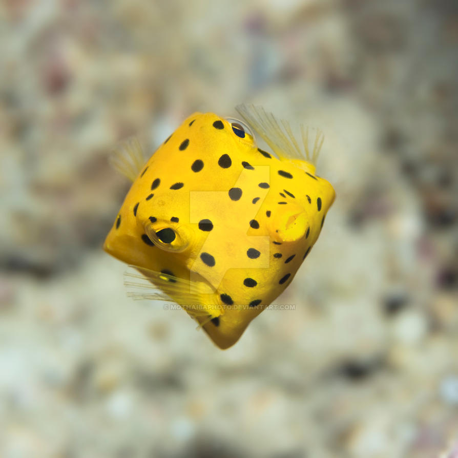 Black-spotted boxfish I by MotHaiBaPhoto