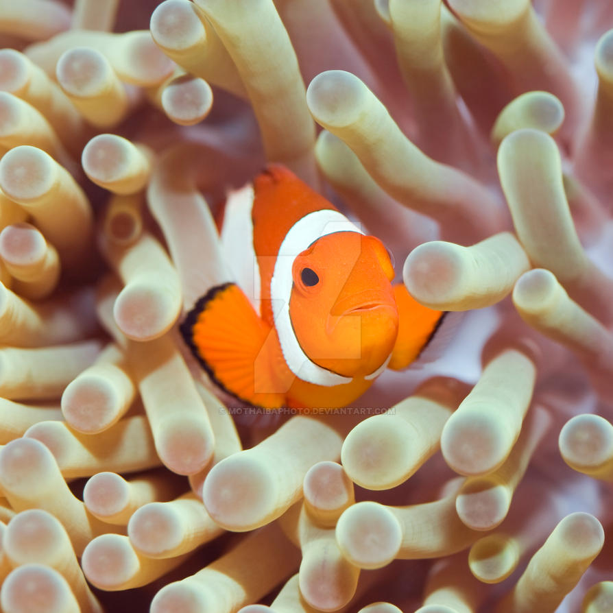 Tropical fish Clownfish by MotHaiBaPhoto