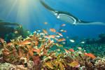 Fishes and manta ray
