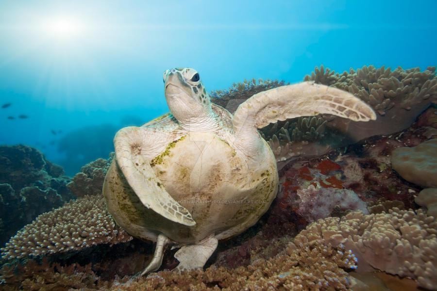 Green turtle underwater IV by MotHaiBaPhoto