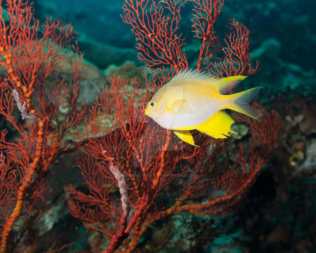 Golden damselfish by MotHaiBaPhoto