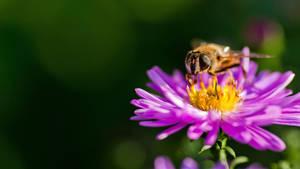 Bee on a violet flower II