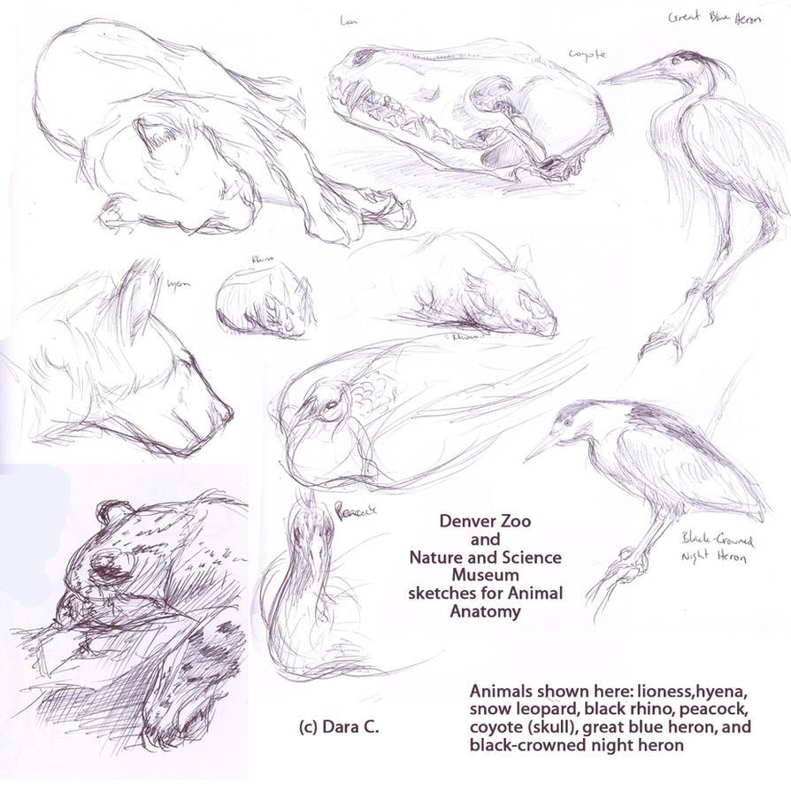 animal anatomy drawings by bakubreath on deviantart