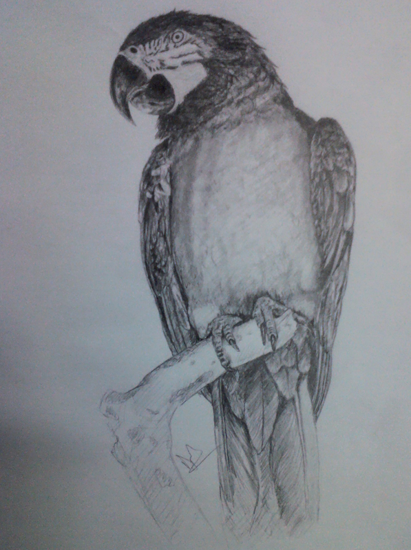 Parrot Pencil Drawing By Nelutuinfo On Deviantart