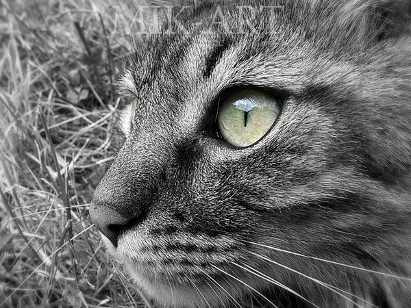 Tigrou Yeux Jaunes (Yellow Eyes) by photomik-art