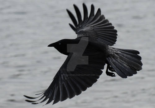 Black Crow in flight