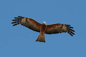 Red Kite by stockmichelle