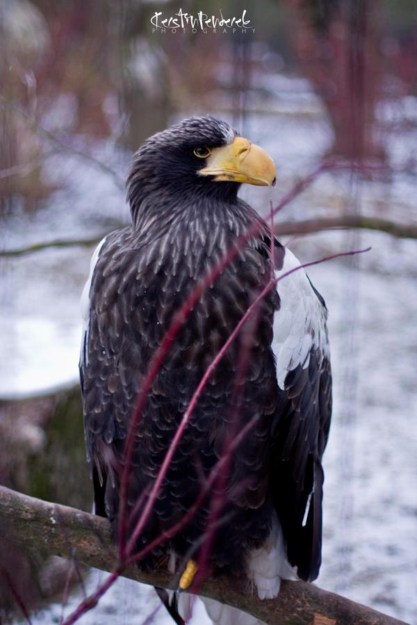sea eagle by backatone