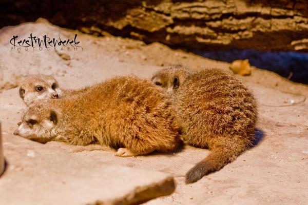 meerkat by backatone