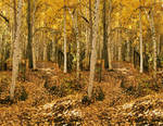 3D Stereo Birch Forest 2