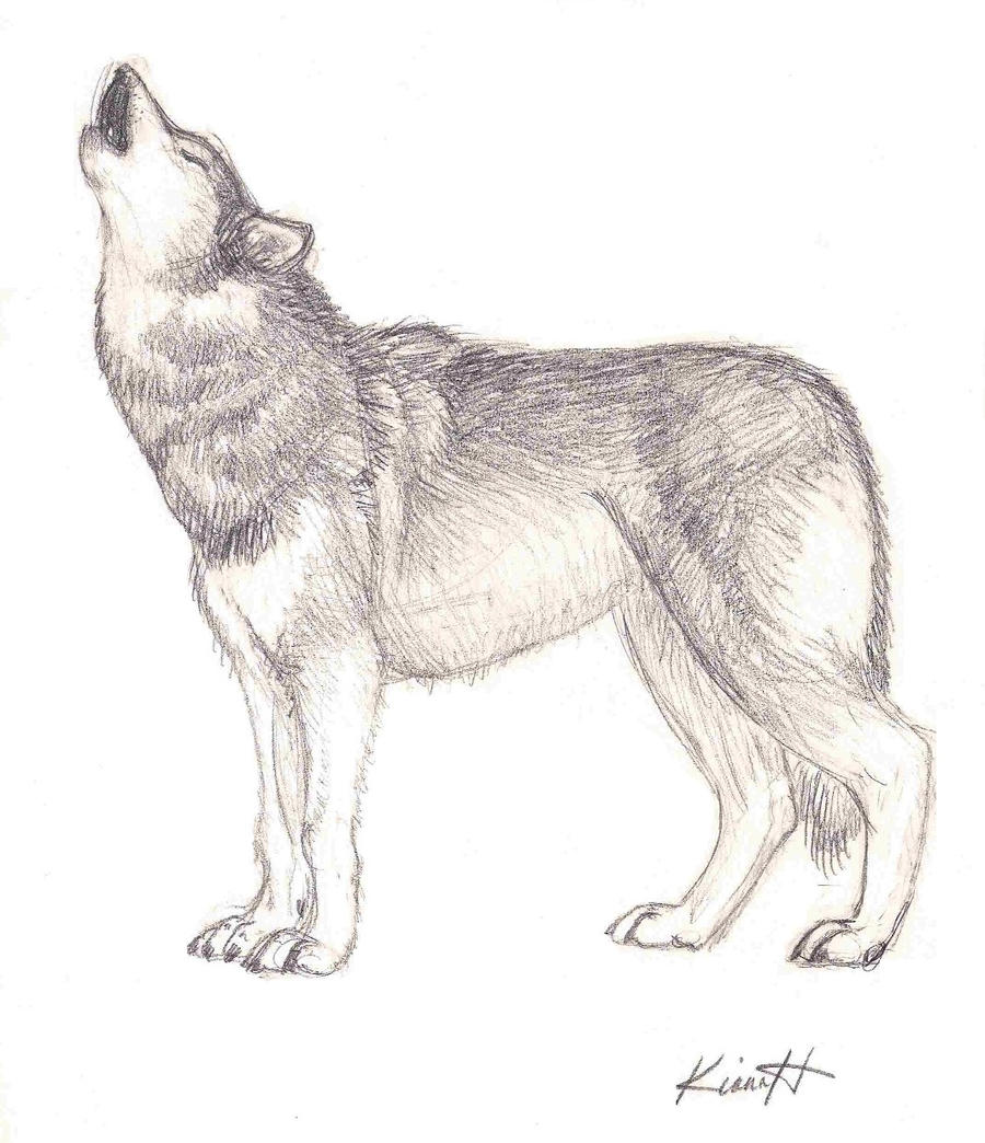 Simple howling wolf sketch - photo#27