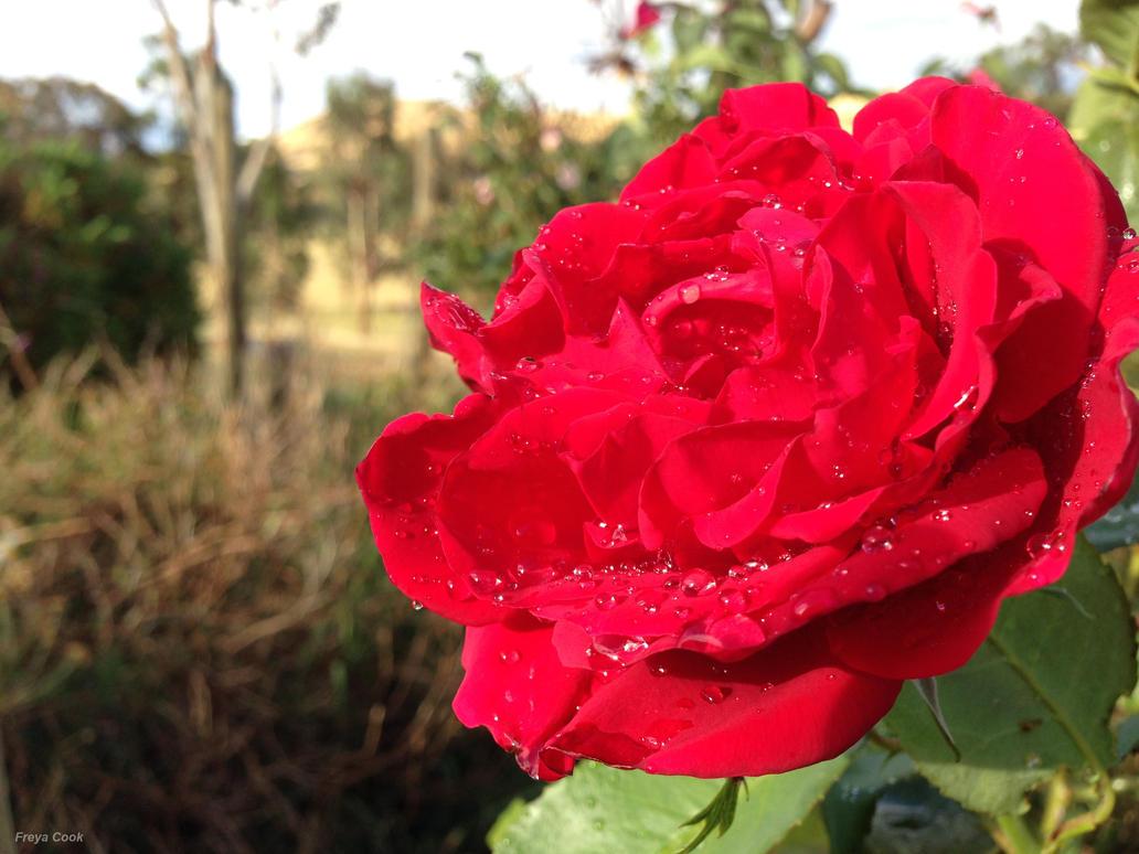 A Rose by WonderBubbles