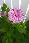 Dahlia from my Garden