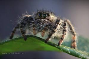 Jumping Spider by mattTIDBALL