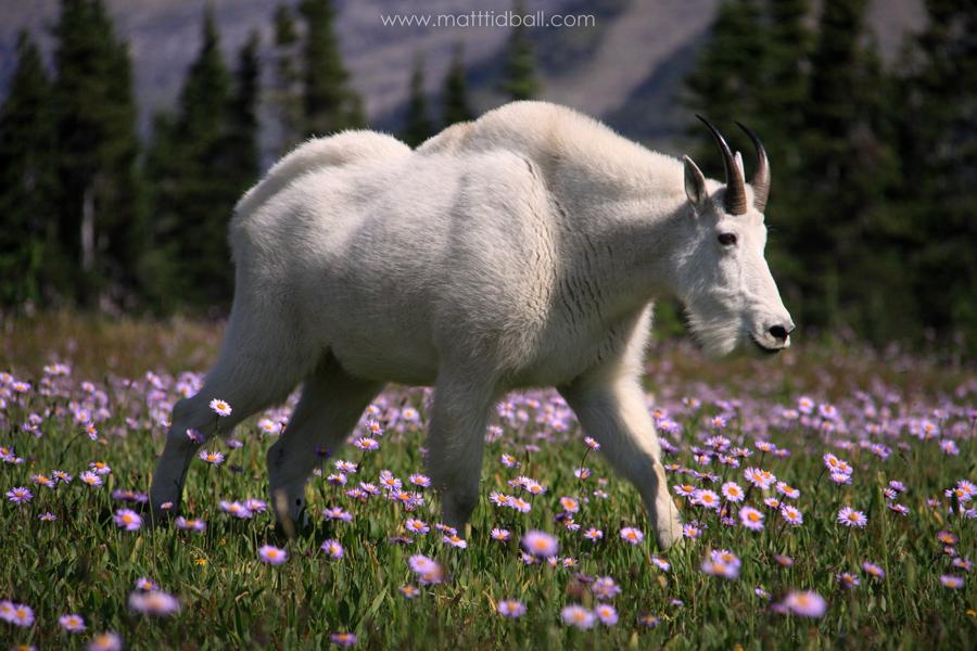 Mountain Goat by mattTIDBALL