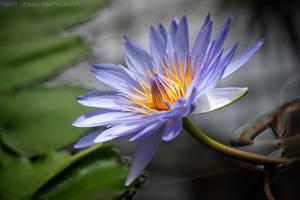 Lily Flower 2 by mattTIDBALL