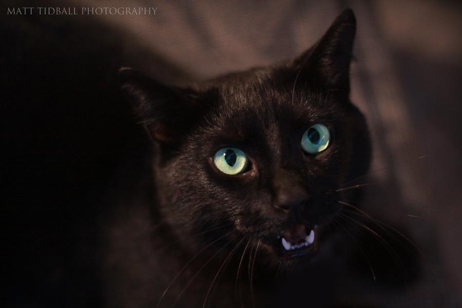 Felis silvestris catus by mattTIDBALL