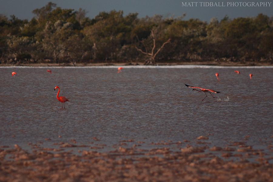 Pink Flamingos - Cuba by mattTIDBALL
