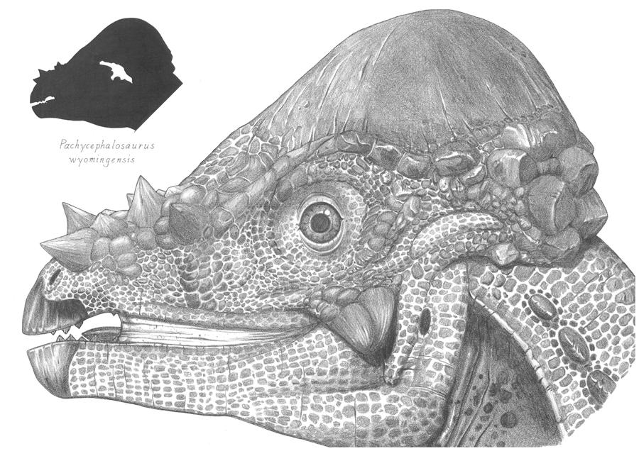 Pachycephalosaurus by dewlap on DeviantArt Pachycephalosaurus Head