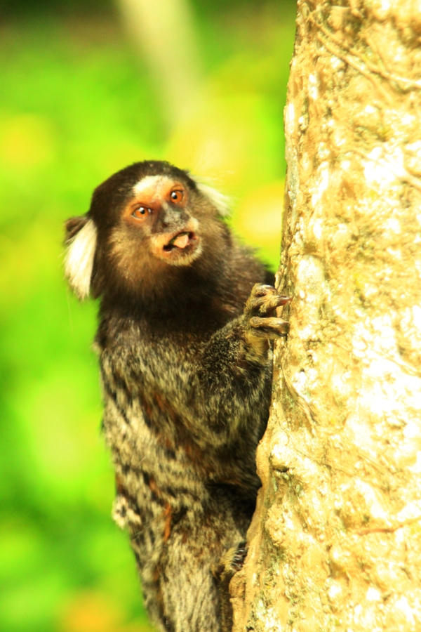 Sagui by jimmyogotico