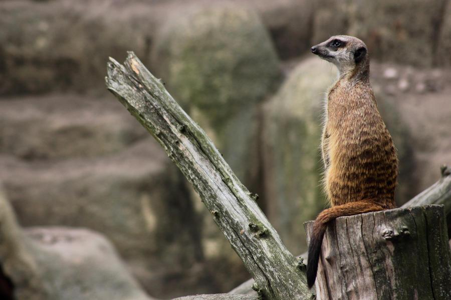 Meerkat by panna-cotta