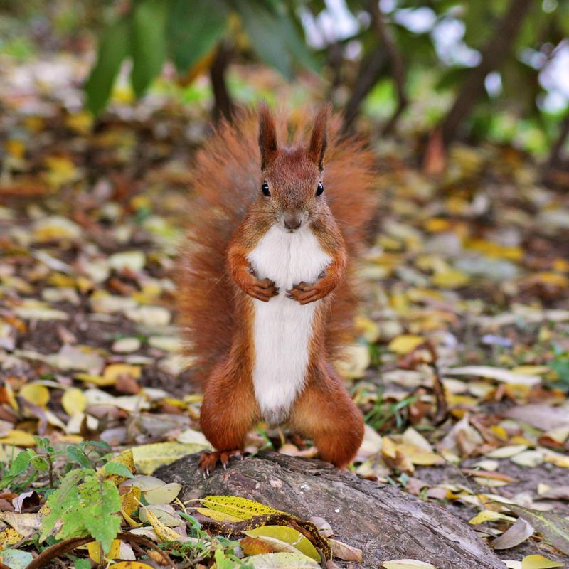 Mr. Squirrel by panna-cotta