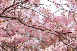 Cherry Blossom by panna-cotta