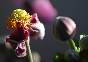 Herbst Anemone 2
