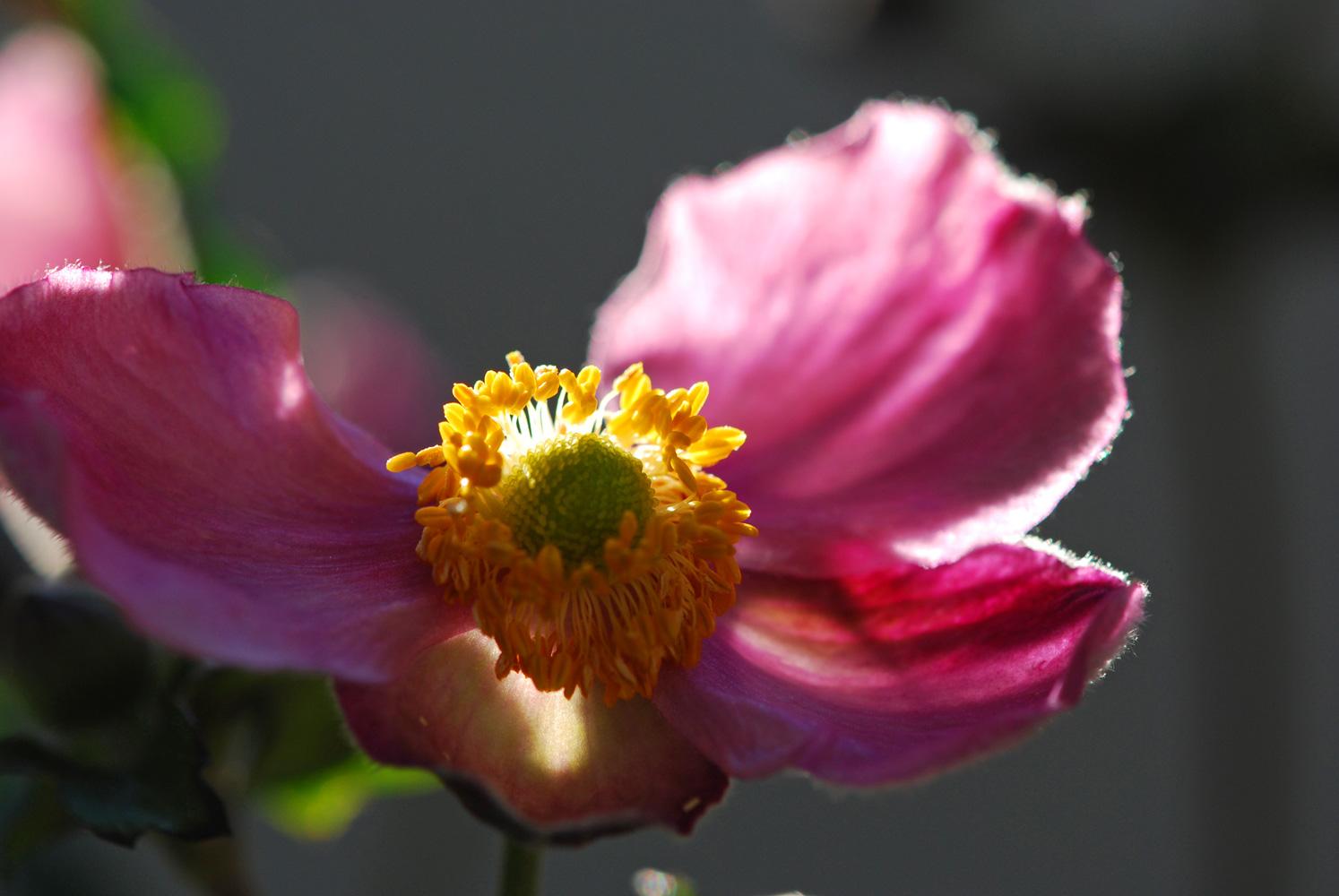 herbst anemone 4 by jojosangm on deviantart. Black Bedroom Furniture Sets. Home Design Ideas