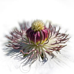 Clematis by eyedesign